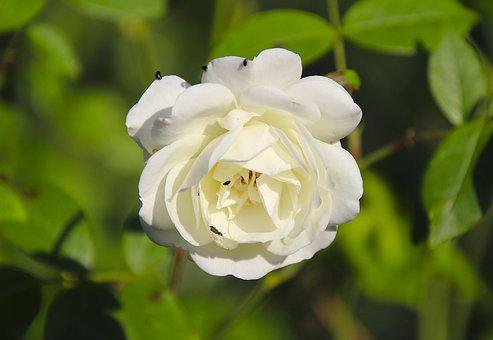 Rose, Beetle, White, Nature, Blossom, Bloom, Plant