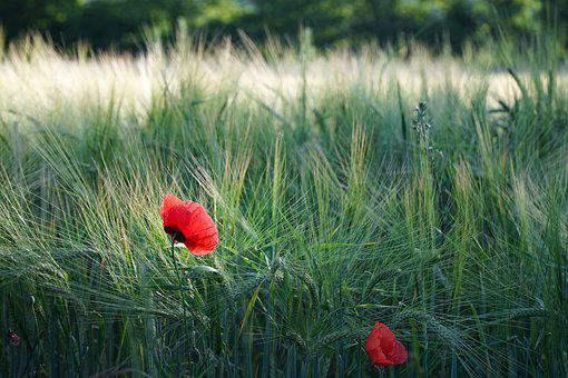Poppy, Red, Cereals, Summer, Blossom, Bloom, Field