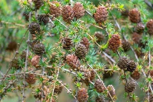 Larch, Conifer, Tap, Branches, Needles, Larch Cones