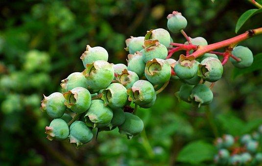 Bilberry American, Fruit, Bush, Nature, Closeup, Garden