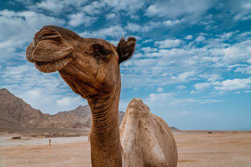 Camel, Desert, Blue Sky, Sahara, Camels, Animal, Travel