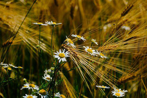 Cereals, Nature, Barley, Spike, Flowers, Daisies, Field