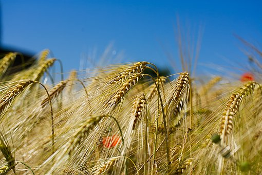 Cornfield, Field, Cereals, Wheat, Agriculture, Summer