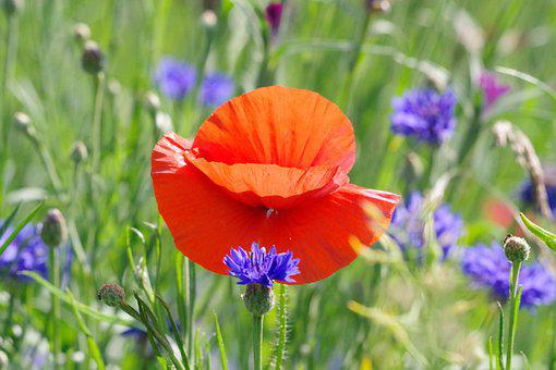 Poppy, Cornflower, Nature, Meadow, Wild Flowers
