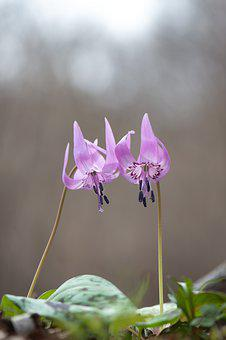 Dog-tooth Violet, South Korea, Wild Flower