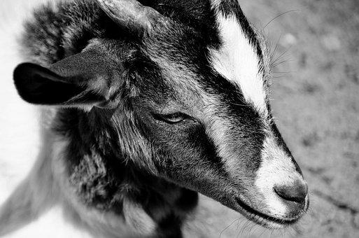 Goat, Black And White, Portrait, Head, Horn, Ear