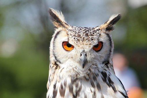 Eagle Owl, Eurasian Eagle Siberian Owl, Owl