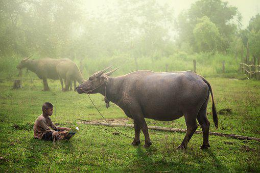 Buffalo, Farmer, Water, Thai, Rice, Field, Thailand