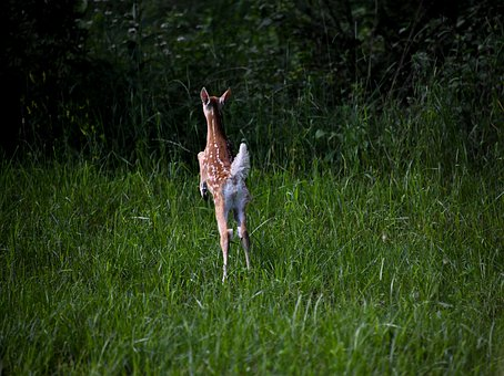 Fawn, Deer, Baby, Jump, Spots, Woods, Nature