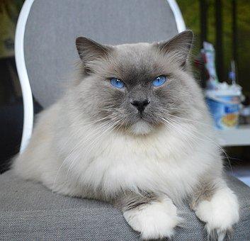 Ragdoll, Cat, Kittens, Kitten, Pet, Kitty, Feline, Eyes