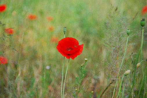 Poppy, Poppies, Flower, Meadow, Summer, Red, Field