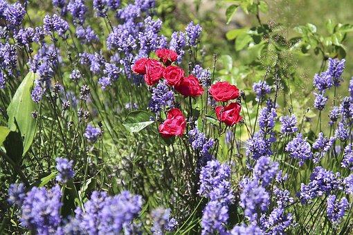 Roses, Lavender, Plant, Nature, Blossom, Bloom, Flora