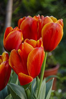Tulips, Flowers, Red, Garden, Holland, Tulip, Floral