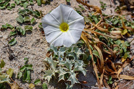 Plant, Ammophilous, Flower, Thorns, Sand, Beach, Nature