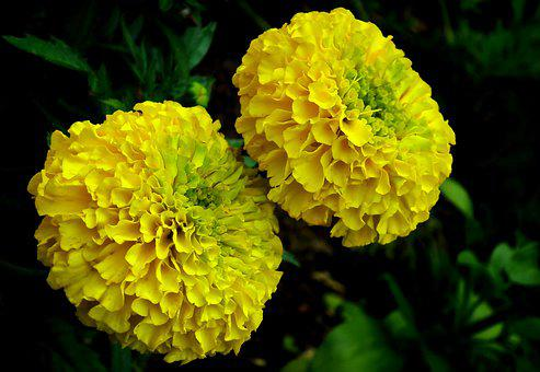 Marigold, Flowers, Yellow, Nature, Garden, Summer