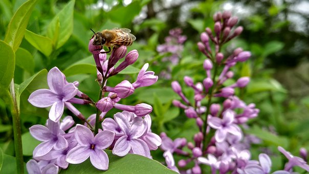 Nature, Spring, Flowers, Lilac, Bee, Tender
