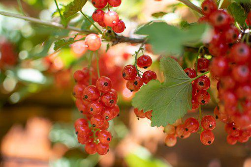 Currant, Red, Fruit, Bush, I'm Ready, Healthy