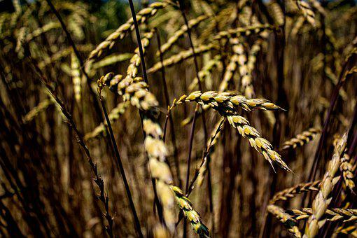 Cornfield, Field, Grain, Food, Nature, Summer, Gold
