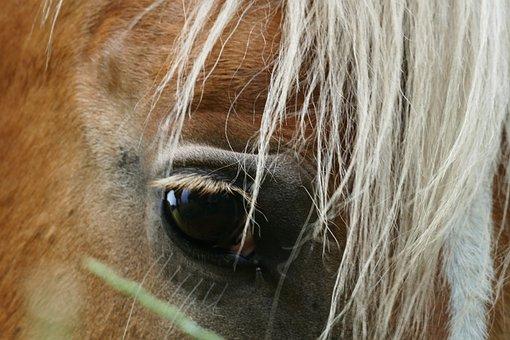Haflinger, Horse, Moons, White, Brown, Animal, Eye