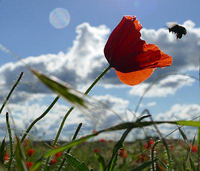 Poppy, Bee, Red, Blossom, Bloom, Summer, Insect, Nectar