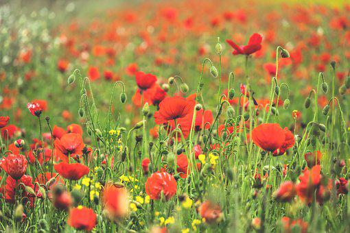 Poppy Flower, Field Of Poppies, Klatschmohn