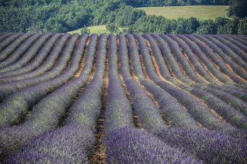 Valensole, Provence, France, Lavender, Europe