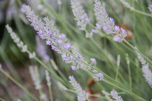 Lavender, Garden, Violet, Flowers, Nature, Summer