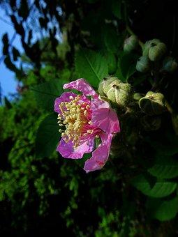 Rose Of Thorns, Bush, Natural, May