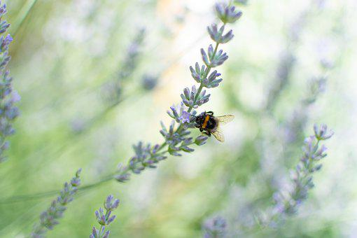 Lavender, Bumblebee, Provence, France, Insect, Nature