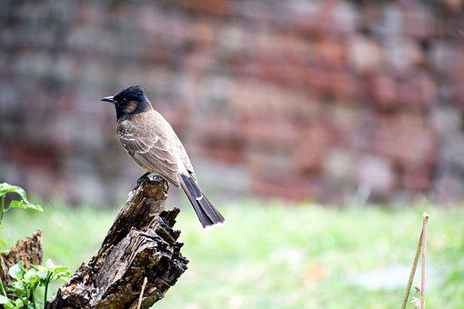 Bulbul, Bird, Natural, Nature, Animal, Wildlife, Tree