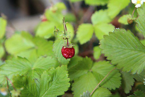 Wild Strawberry, Wild, Red Fruit, Nature