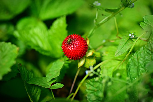 Wild Strawberry, Fruit, Plant, Berry, Nutrition, Sweet