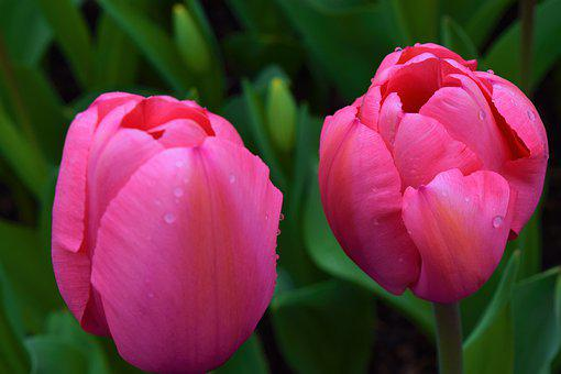 Pink, Tulips, Pair, May Flowers, Spring, Nature, Beauty