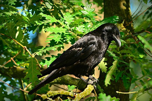 Crow, Bird, Animal, Corvidae, Feather, Plumage, Beak