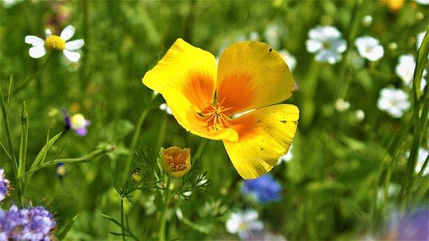 Flowers, Field Flowers, Nature, Poppy, Flora, Field