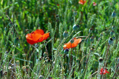 Poppy, Papaver, Field Of Poppies, Poppy Flower