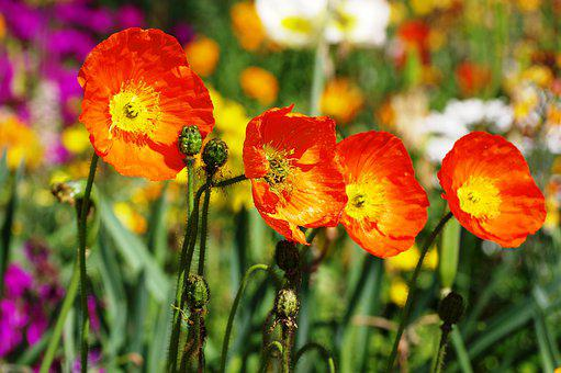 Poppy, Red, Nature, Blossom, Bloom, Field, Summer