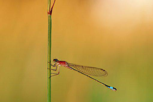 Dragonfly, Red, Insect, Nature, Wing, Macro