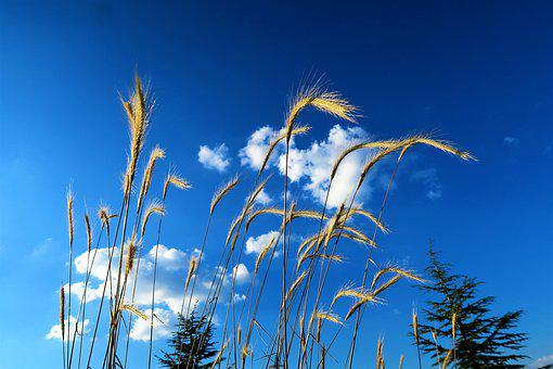 Virgos, Nature, Area, Plant, Harvest, Rural, Sky, Cloud