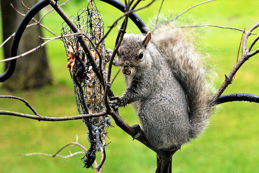 Squirrel, Young Squirrel, Staring, Gray, Brown, Eating