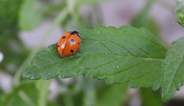 Ladybug, Insect, Nature, Macro, Red, Summer, Animals