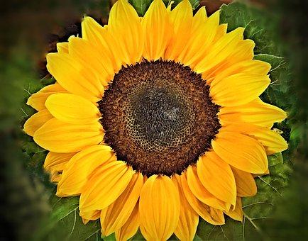Flower, Sunflower, Ornamental Plant, Single Bloom