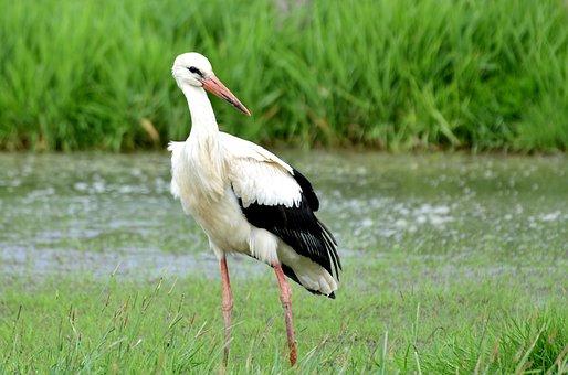 Stork, Bird, Feather, Wing, Beak, Plumage, Symbol
