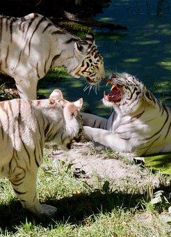 Tiger, Feline, Aggressive, Wild, Whiskers, Dangerous