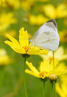 Butterfly, Yellow, Nature, Fower, Insect, Summer, Green