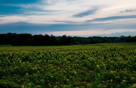 Sky, Field, Farm, Yellow, Crop