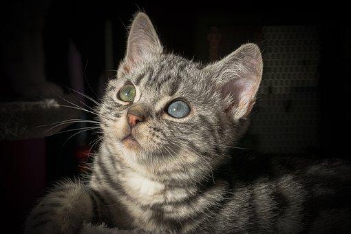 Cat, Pet, Domestic Cat, Animal, Mackerel, Cat Face