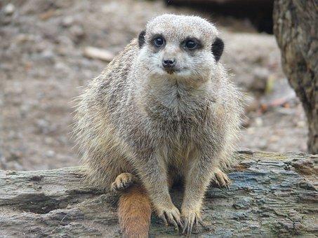 Meerkat, Nature, Animal