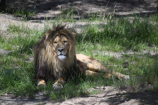 Beekse Bergen, Lion, Predator, Animal World, Carnivores