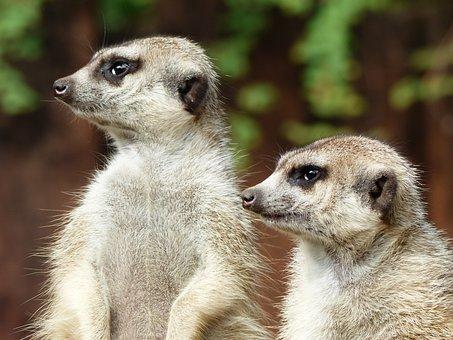Meerkat, Zoo, Animals, Cute, Bokeh